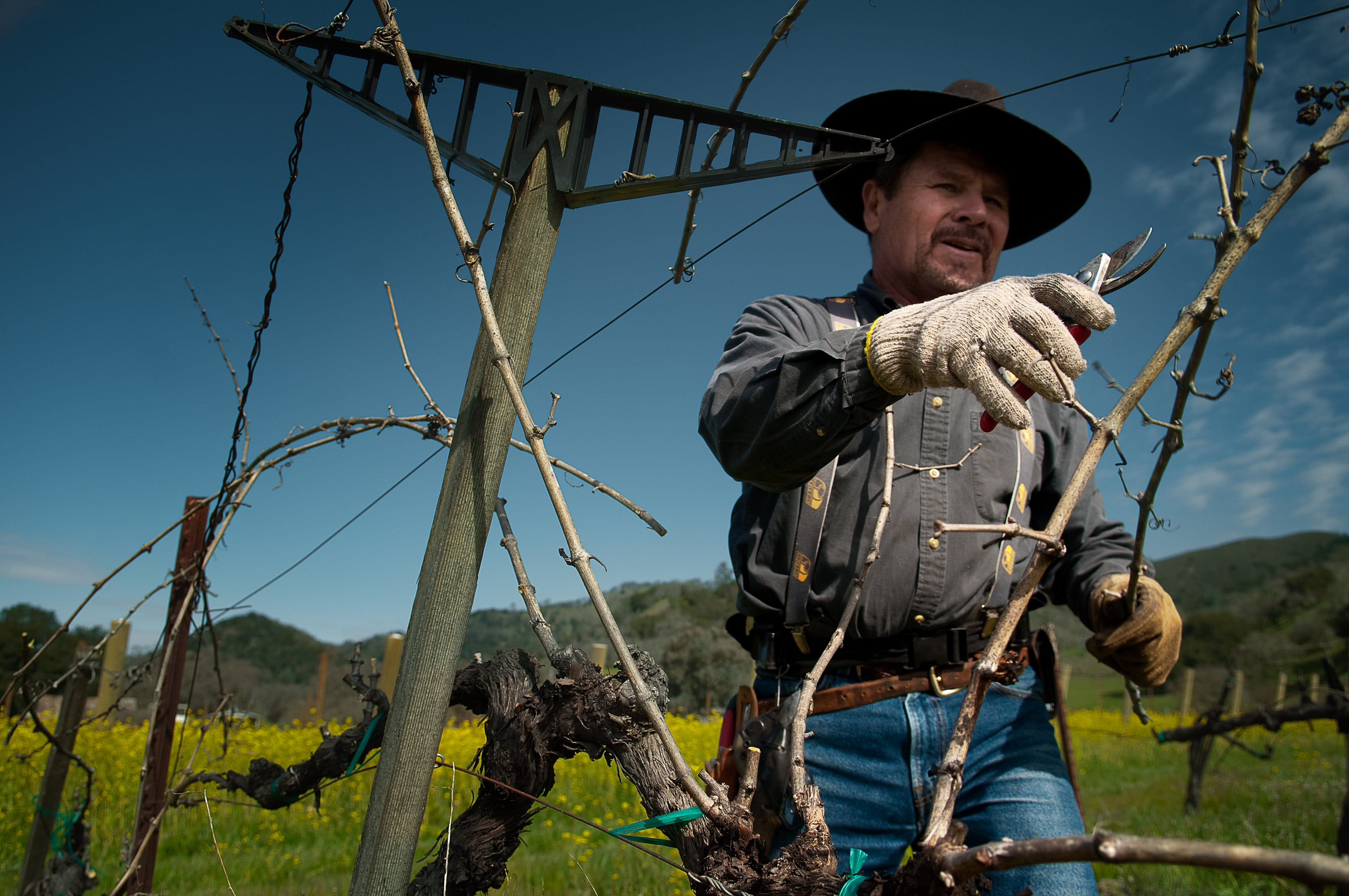 Napa Valley Vineyard Owner Tends To Grape Plants