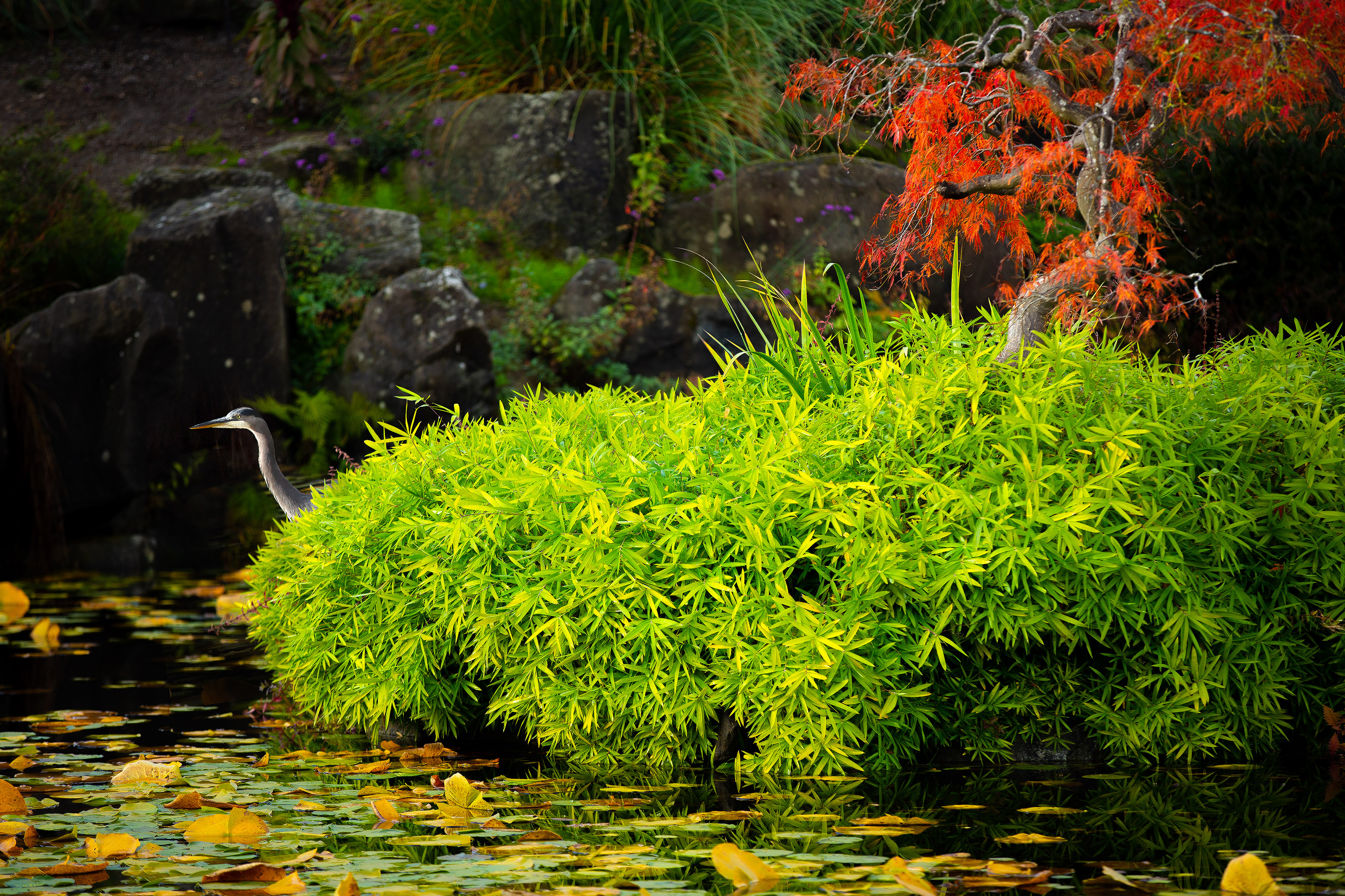 Fall Color Brilliance At Vancouver Botanical Garden