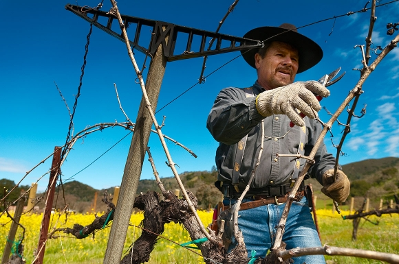 napa valley rancher tends to grape vines